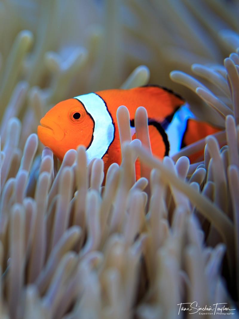 The orange clownfish (Amphiprion percula) is one of the most important species for studying the ecology and evolution of coral reef fishes - photo © Tane Sinclair-Taylor