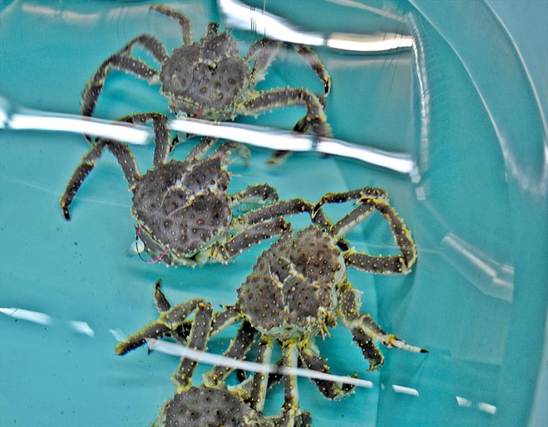 Red king crabs with test tags at the NOAA Kodiak Laboratory (females shown here and used in trials, but males will be tagged for actual tracking). photo copyright NOAA Fisheries taken at  and featuring the Fishing boat class