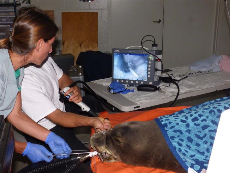 The veterinary team uses an endoscope to see the hook while dislodging it from the monk seal's cardiac sphincter. - photo © NOAA Fisheries