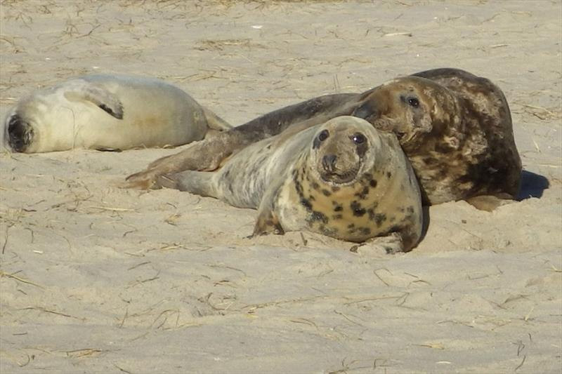 A gray seal family during pupping season on Muskeget Island off Nantucket. The pup is covered in white fur at left, the father is behind the mother at right. photo copyright NOAA Fisheries taken at