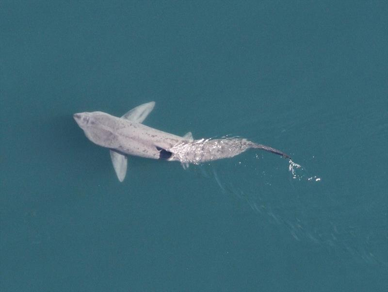 Basking shark is often mistaken for a white shark in New England. photo copyright NOAA Fisheries taken at