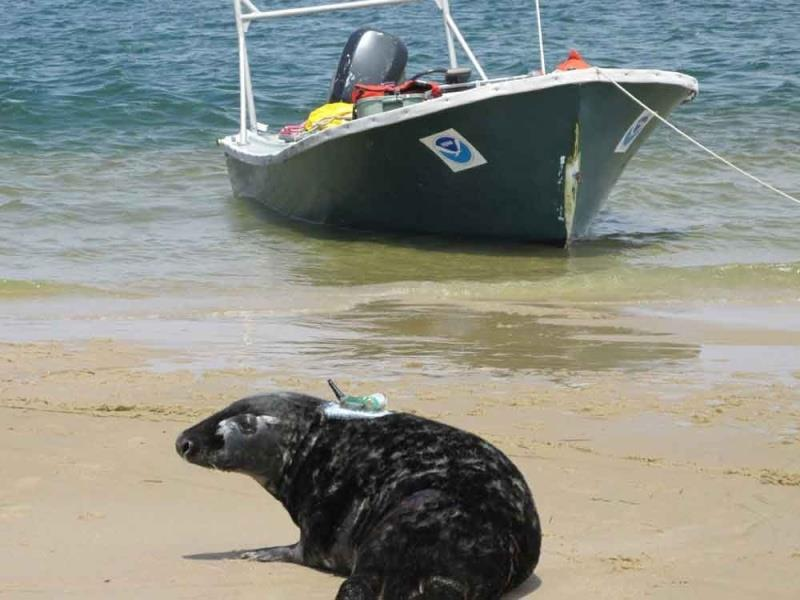 Gray seal, captured for sampling and tagged with a GPS receiver, returns to the water off Chatham, Massachusetts. The first tagging and sampling of adult gray seals on Cape Cod was conducted in 2013. - photo © NOAA Fisheries