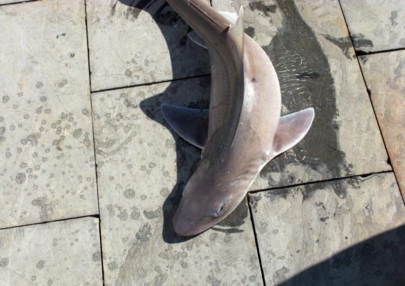 Smooth dogfish - photo © NOAA Fisheries
