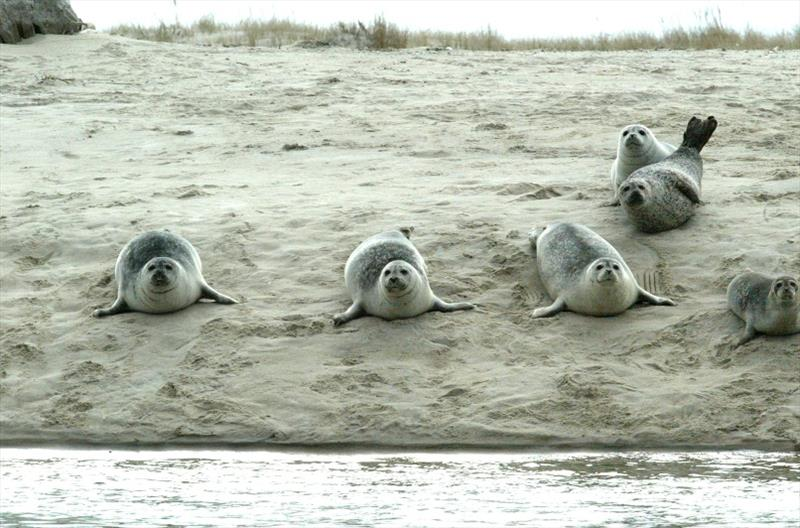 Harbor seals hauled out in a remote sandy area in Chatham, Massachusetts. photo copyright NOAA Fisheries taken at