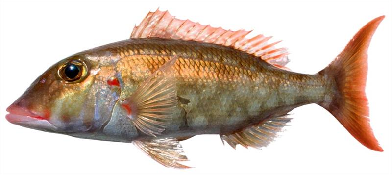 Redgill emperor (Lethrinus rubrioperculatus) - photo © NOAA Fisheries