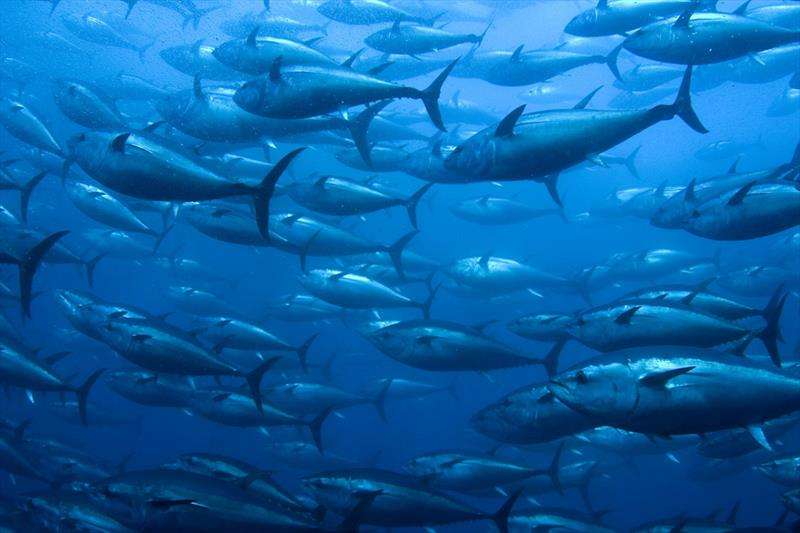 Bluefin Tuna in a netted ranch photo copyright Getty Images / iStockphoto taken at
