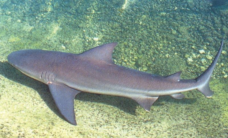 The bull shark is found in coastal tropical and subtropical seas ranging from the western North Atlantic to southern Brazil. - photo © NOAA Fisheries