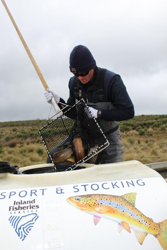 Chris loading brown trout - photo © Carl Hyland
