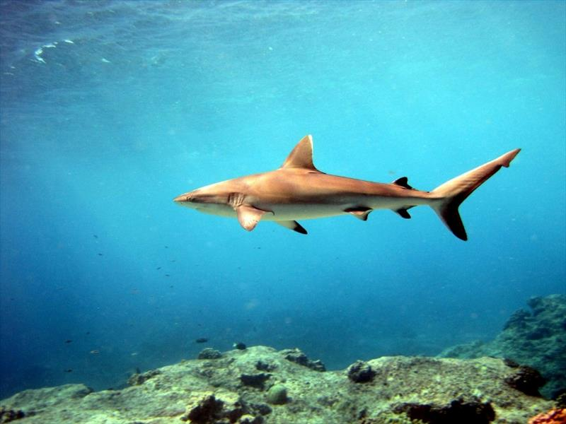 Sharks don't have bones but they have great eyesight photo copyright NOAA Fisheries taken at