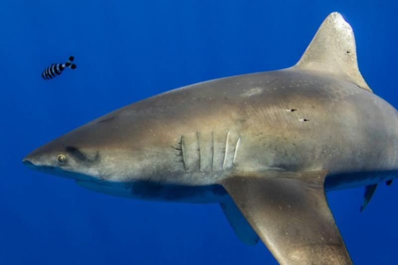 The curious case of a shark and a cephalopod - photo © NOAA Fisheries