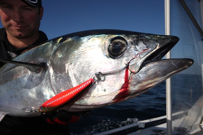Tuna may take skirted lures but hard bodies also work well when trolled. © Jarrod Day