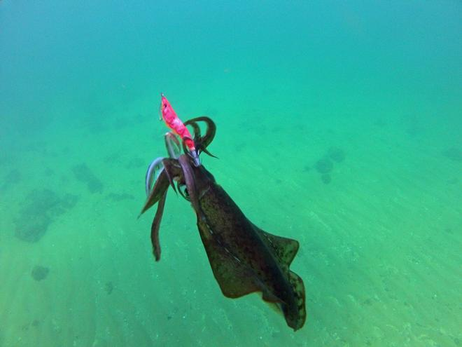 This calamari couldnt resist the UV Cloth coated jig. © Jarrod Day