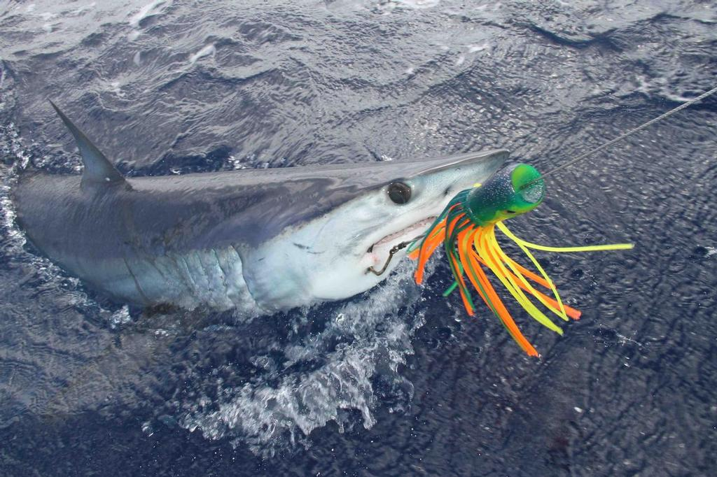 Shortfin Mako Caught for Tagging LR © Guy Harvey Research Institute